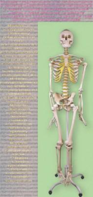 скелет, человека