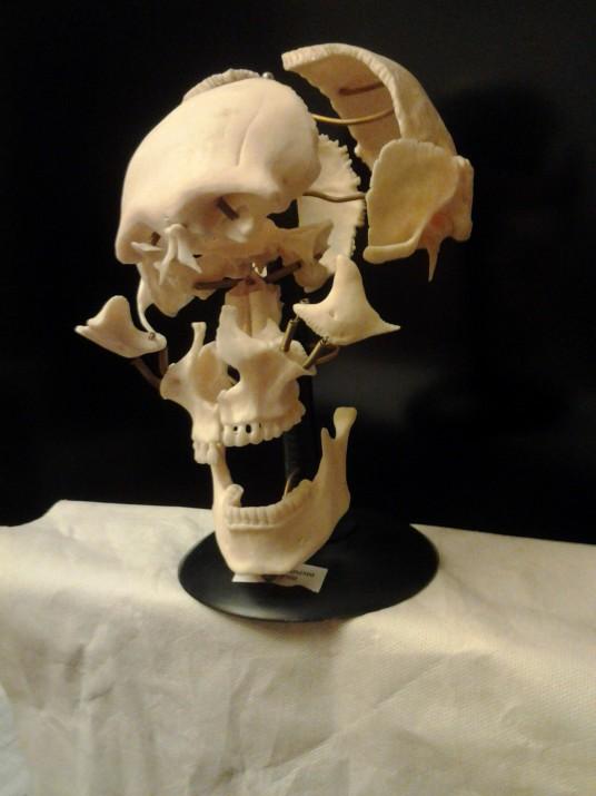 череп, биология
