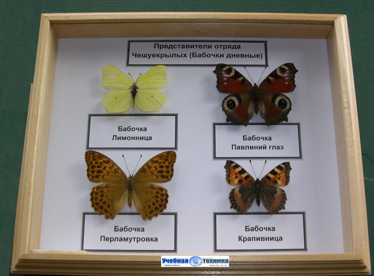 бабочки, жуки, школа, биология