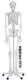 скелет, манекен, 170см.